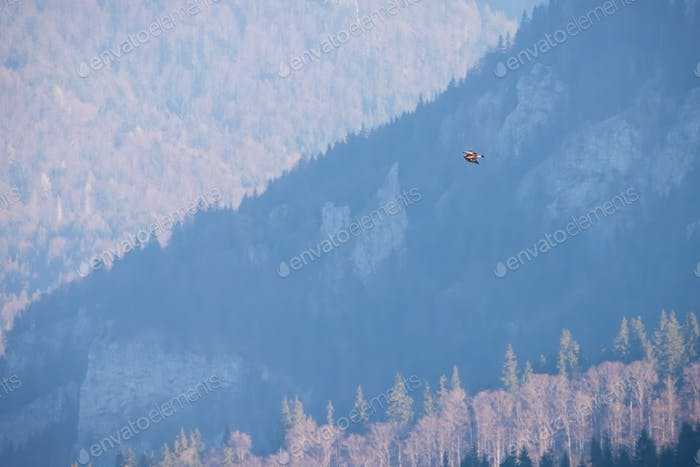 Golden eagle flying over the mountains in autumn
