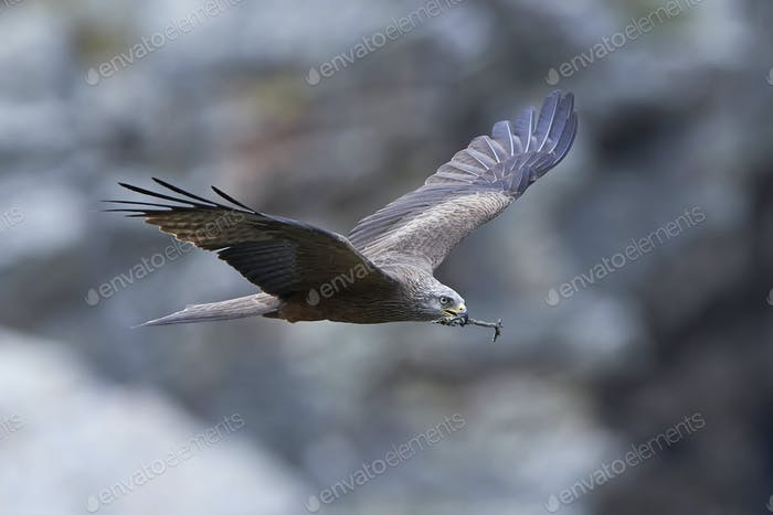 Schwarzer Drachen (Milvus migrans)