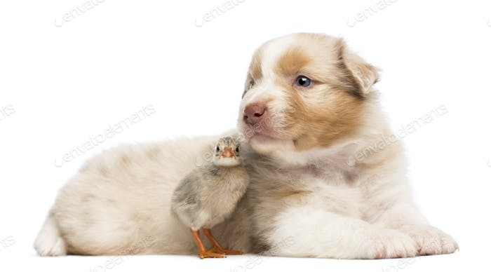 Australian Shepherd puppy, 30 days old, lying next to chick against white background