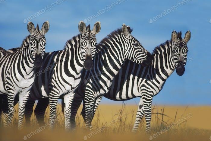 Zebras, Equus quagga, Masai Mara Reserve, Kenya