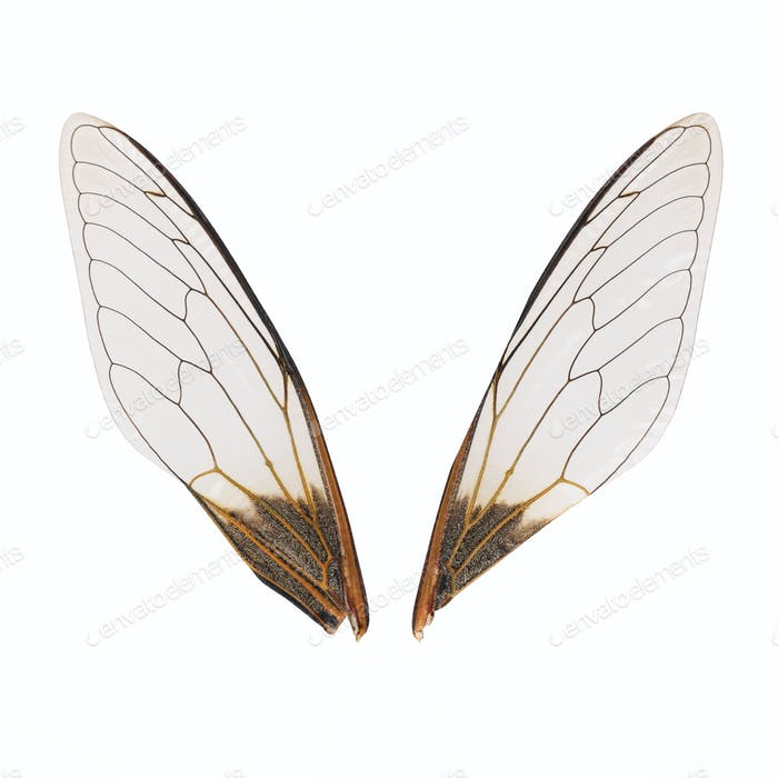 a pair of cicada wings