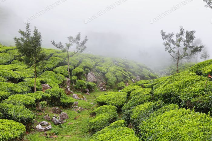 Kolukkumalai Tea plantations in a foggy day in Munnar, Kerala, India