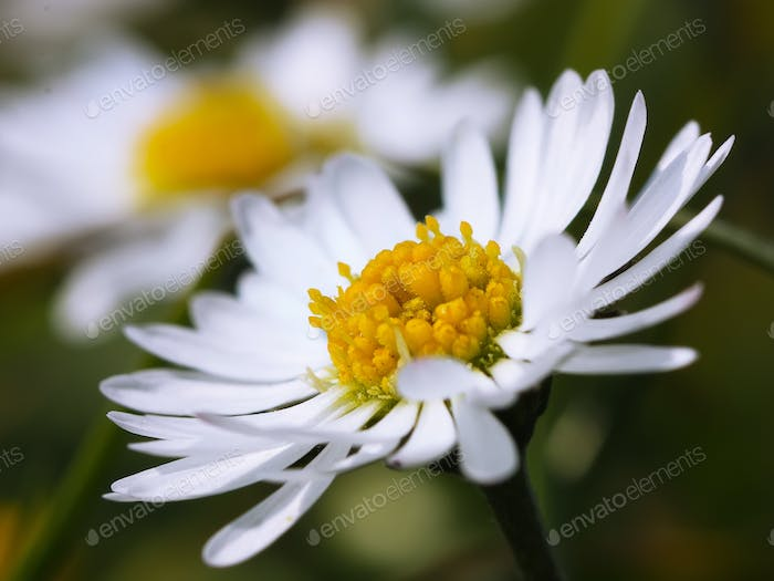 Chamomile close-up. White daisy flowers