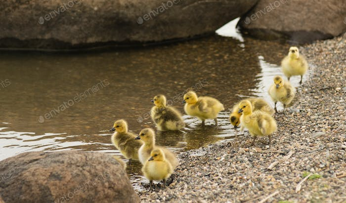 Newborn Chicks Columbia River Drink Eat Shoreline Wild Animals