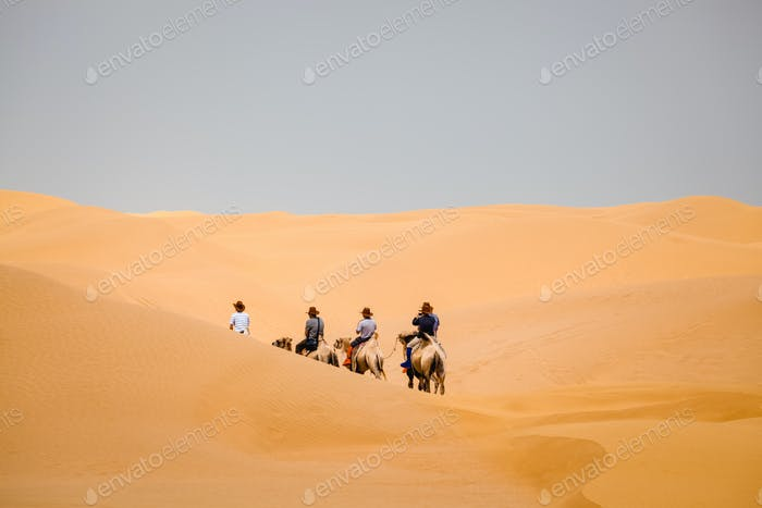 camel team in desert