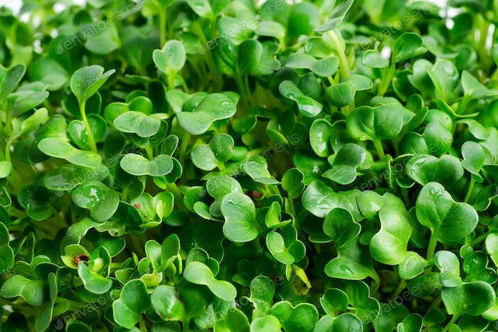 Close-up background from growing microgreen as a natural backdrop