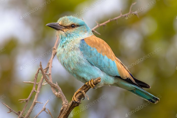 European roller on prickly branch