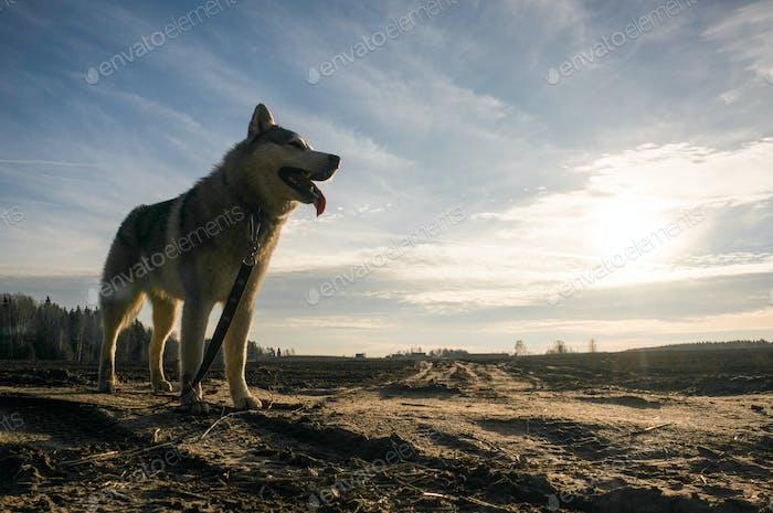 Malamute Dog Standing in Autumn Field, Belarus, Lahoysk