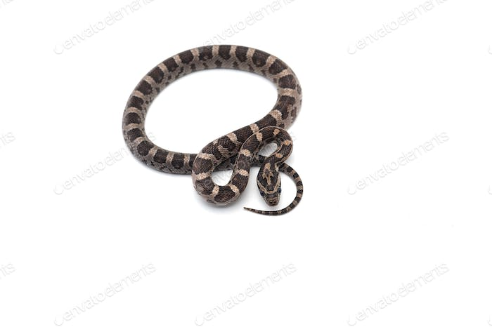 Thumbnail for Corn snake isolated on white background