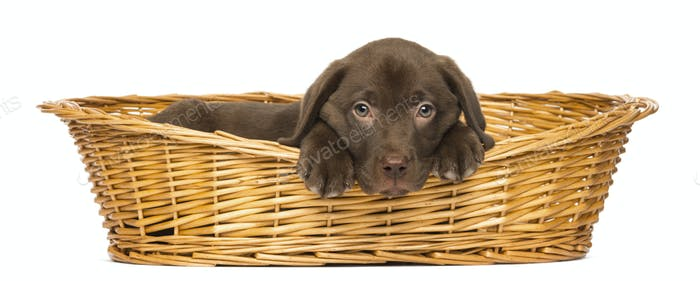 Sad Labrador Retriever Puppy lying in a wicker basket, 2 months old, isolated on white