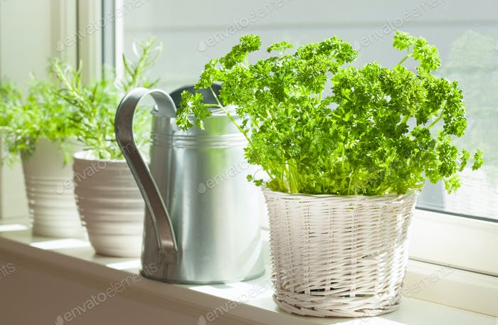 fresh parsley herb in white pot on window
