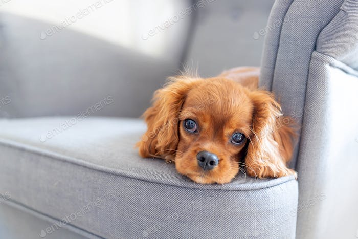 Cute puppy lying on the armchair