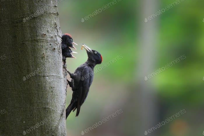 Schwarzspecht Mutter Fütterung Küken auf Nest in Baum