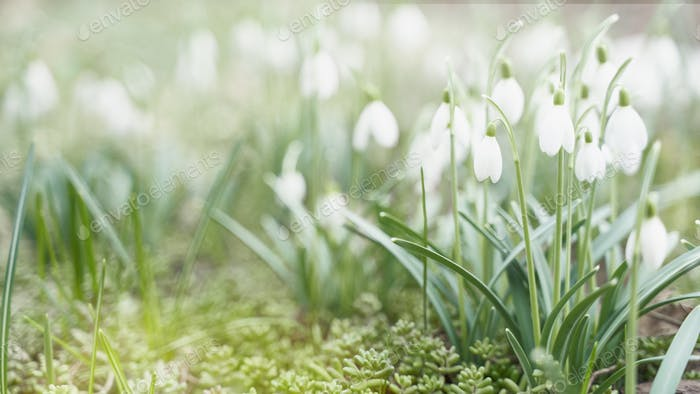 First spring flowers, snowdrops, a symbol of nature awakening