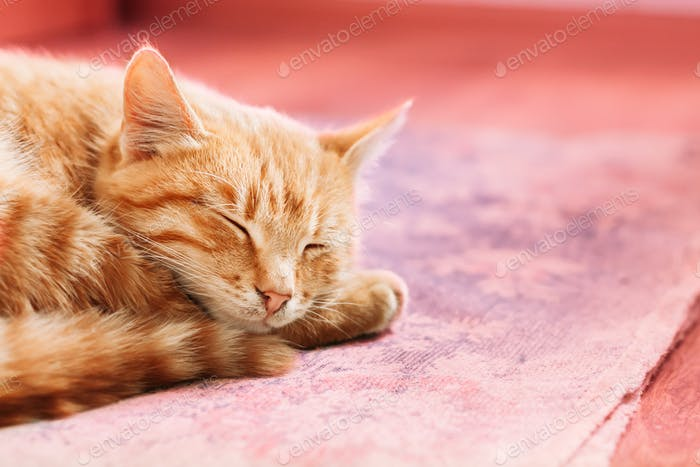 Orange Red Tabby Male Kitten Ginger Cat  Curled Up Sleeping In H