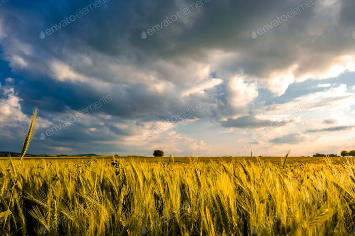 Golden yellow wheat field in warm sunshine under dramatic sky, fresh vibrant colors