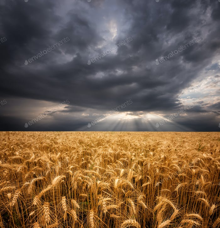 Cloudy morning over wheat field