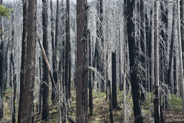 Charred tree trunks in the Willamette national forest after a fire.