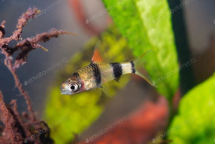 Young cyprinid fish Enteromius rohani in freshwater aquarium