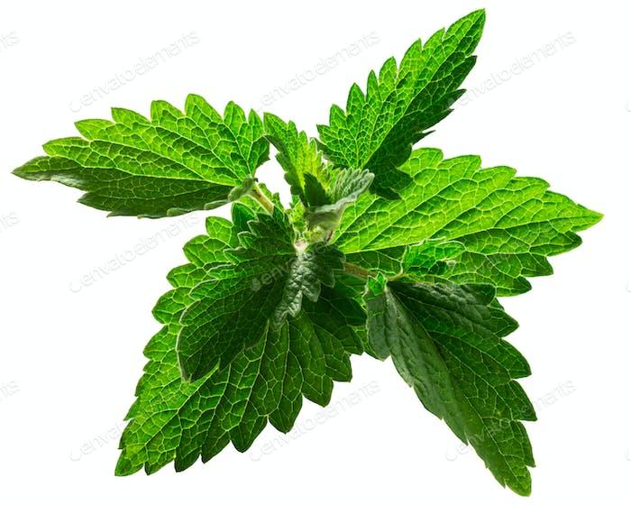 Catnip leaves n. cataria, paths