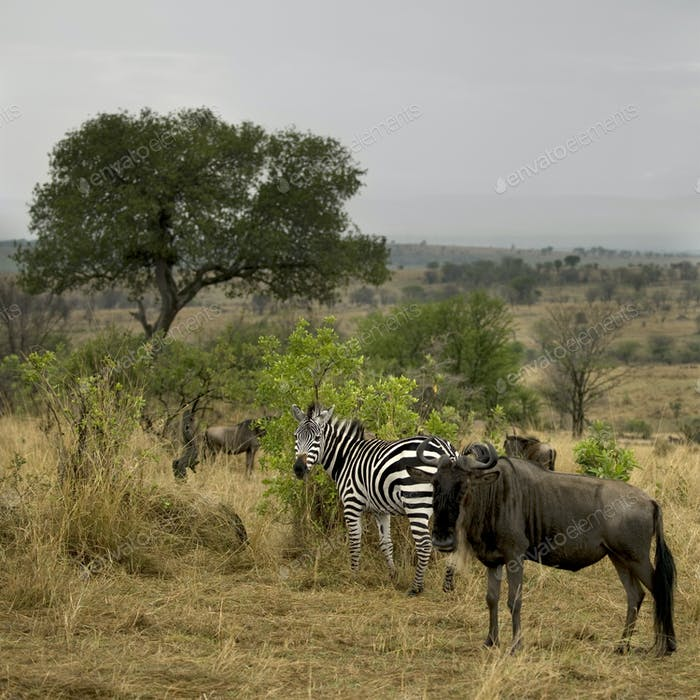 Wildebeest and zebra in the landscape, Serengeti National Park, Serengeti, Tanzania, Africa