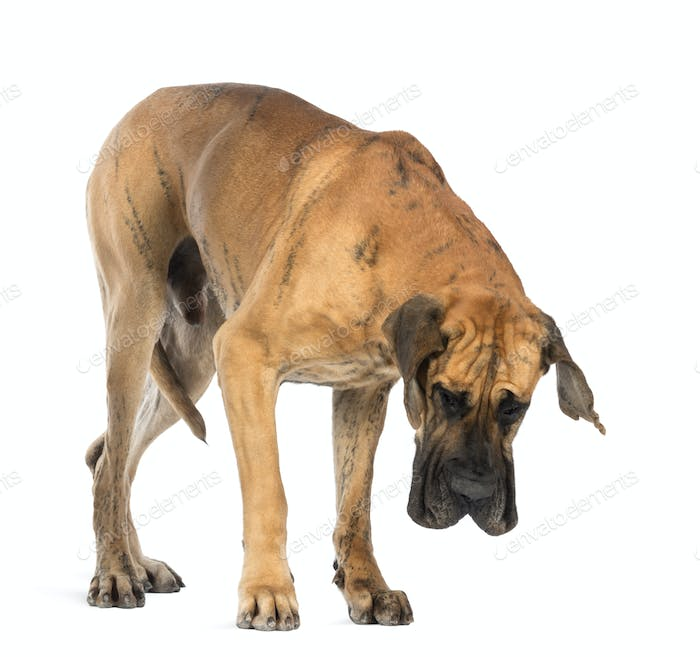 Great Dane, 4 years old, looking down in front of white background