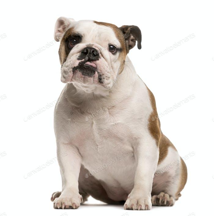 French Bulldog Blick auf die Kamera, isoliert auf weiß