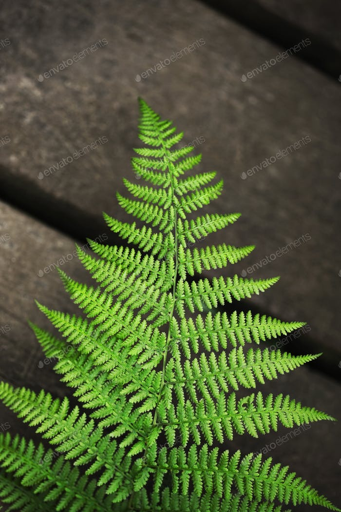 Fern growing in Spring in the garden