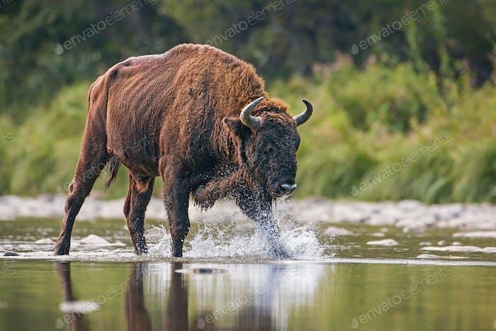 Huge bull of european bison, bison bonasus, crossing a river