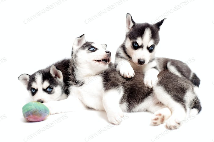 Husky cubs or siberian husky puppies playing in studio isolated