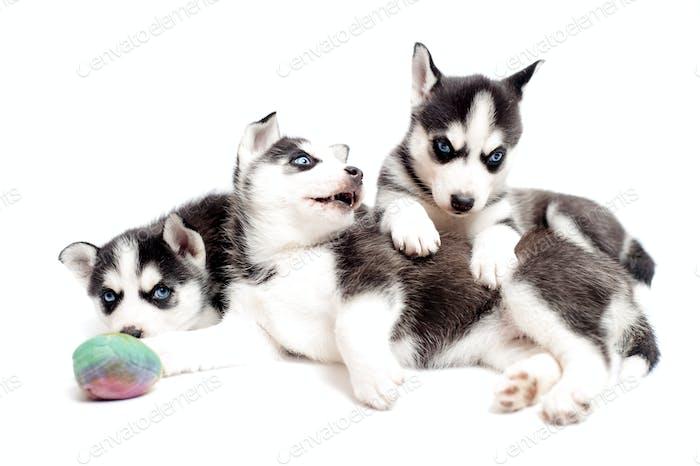 Хаски детеныши или сибирские хаски щенки играть в студии изолированные