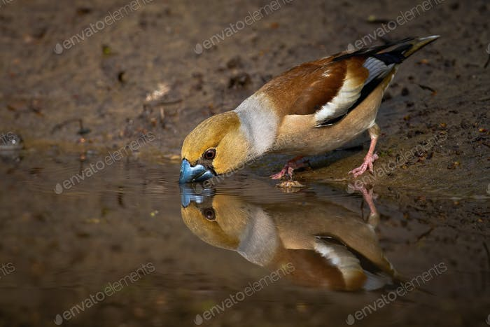 Hawfinch standing on muddy riverbank bending over water surface and drinking