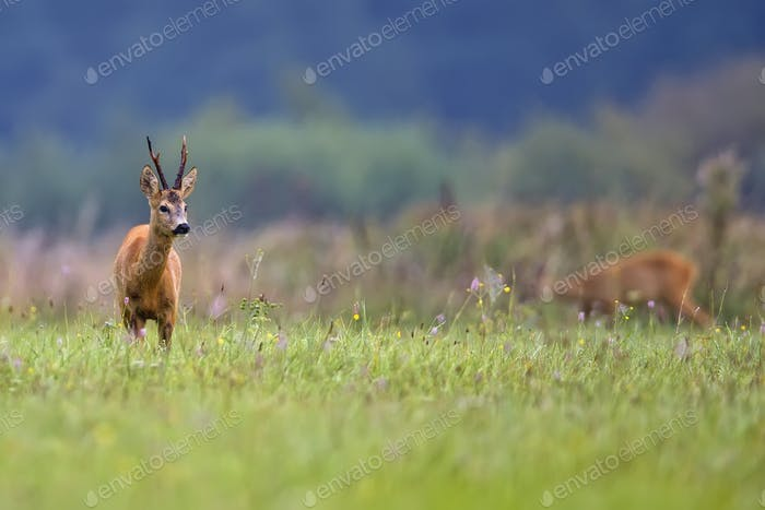 Buck deer in a clearing