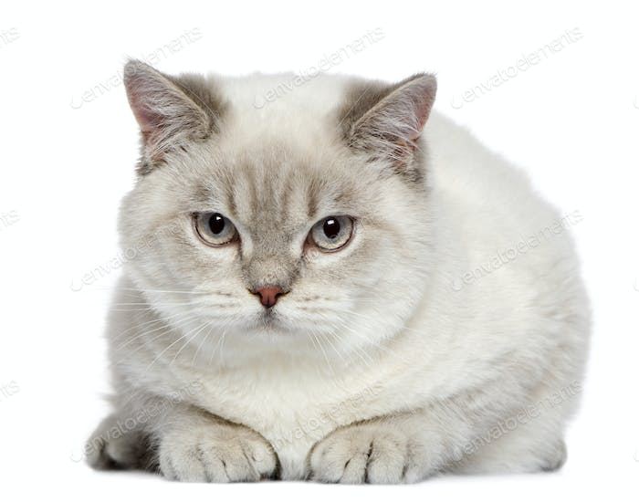 British shorthair cat, 7 months old, in front of white background