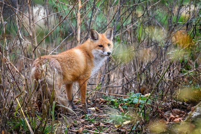 Red Fox, schönes Tier auf grüner Vegetation im Wald, im Naturlebensraum