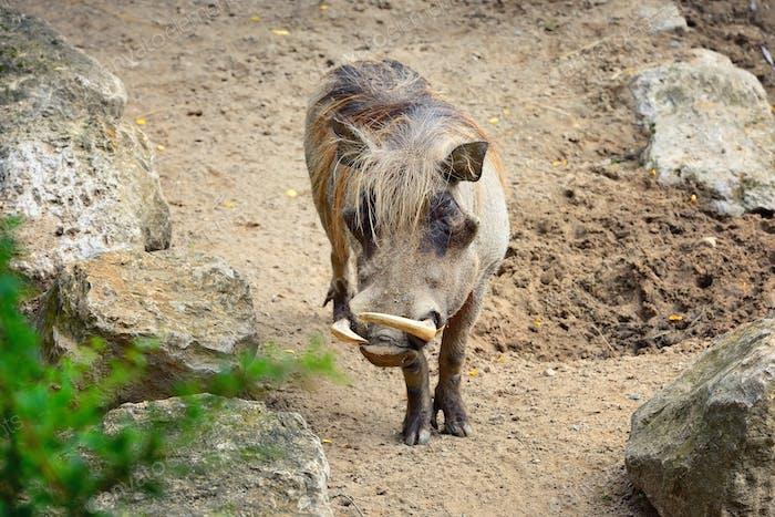 Gemeine Warzenschwein (Phacochoerus africanus). Vorderansicht