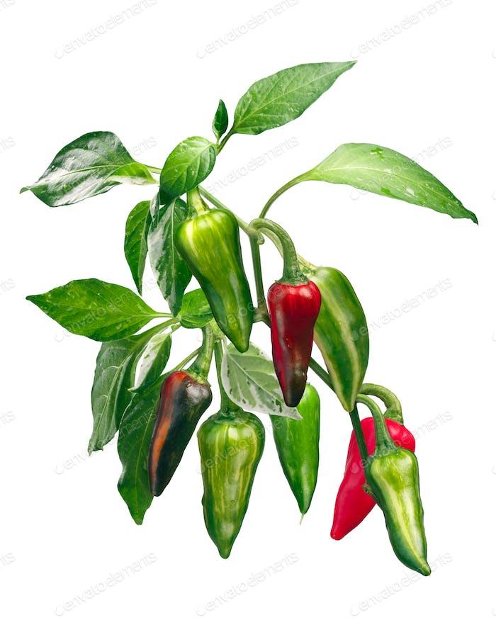Fish chile pepper plant C. annuum, paths