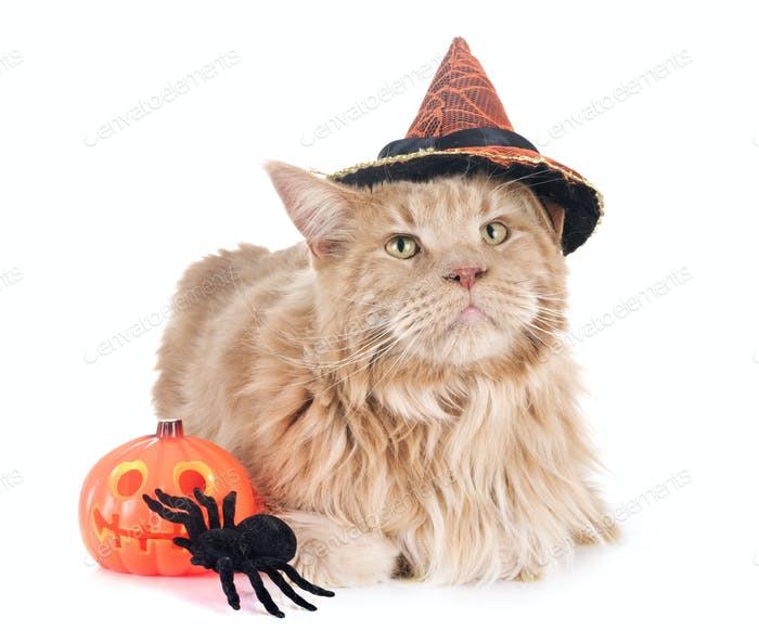 maine coon cat and halloween