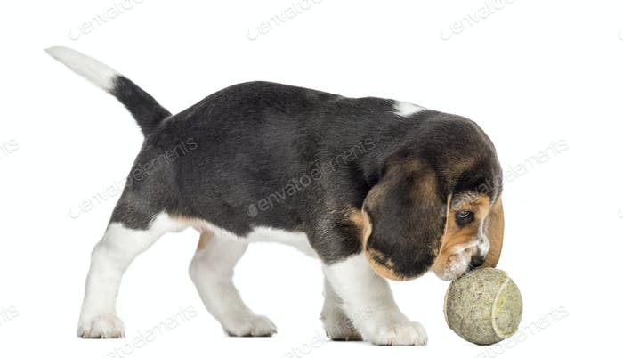 Side view of a Beagle puppy playing with a tennis ball, isolated on white