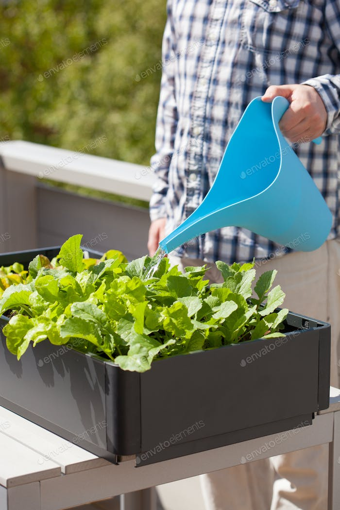 man watering vegetable garden in container on balcony