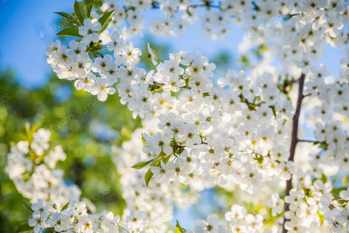 Spring flowering cherry, white flowers close-up, Selective focus and shallow Depth of field
