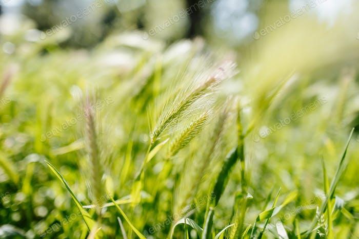 green wheat harvest close up