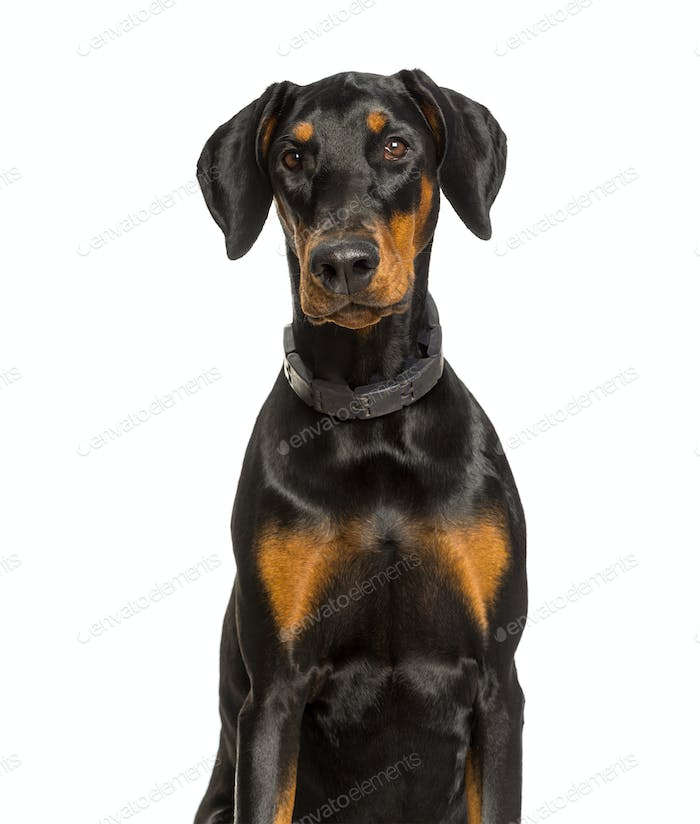 Doberman dog looking at camera against white background