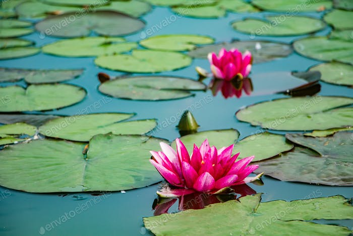 Pink lotuses in clear water. Water lilies in the pond.