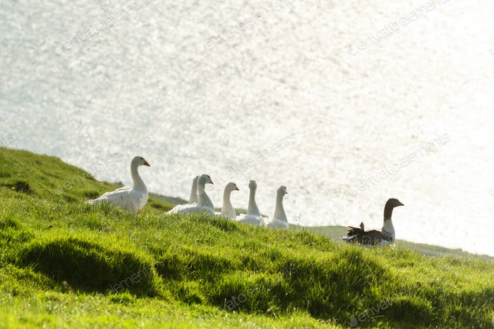 White and gray domestic geese in green grass
