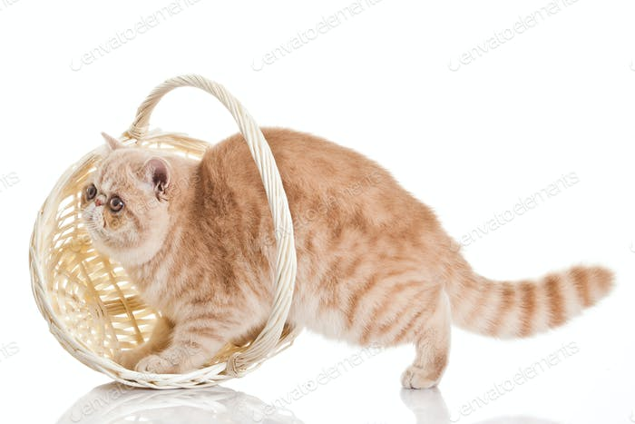 Exotic shorthair cat. Adorable  kitten with basket on white background