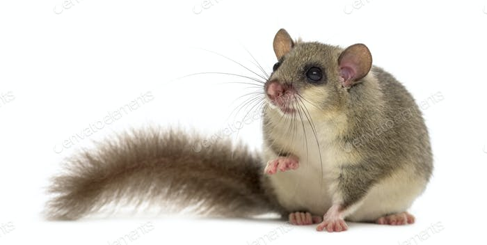 Edible dormouse in front of a white background