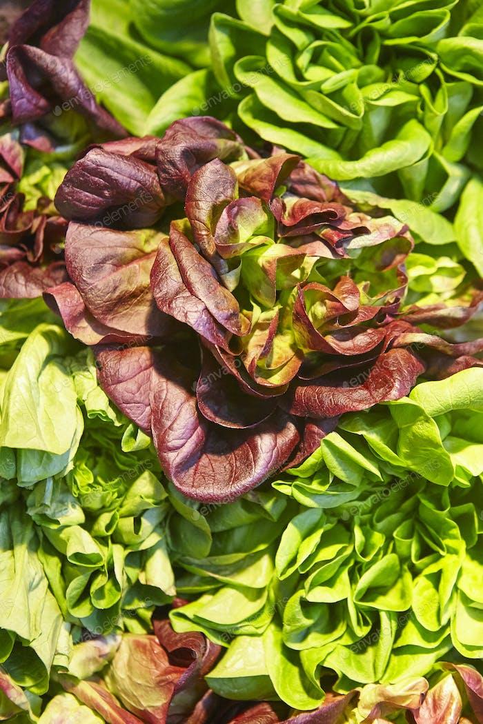 Grüne und rote Salatblätter Detail. Gesundes Essen. Ökologischer Landbau