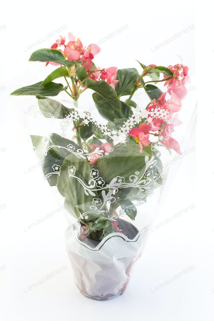 Begonia Potted in Decorative Cellophane