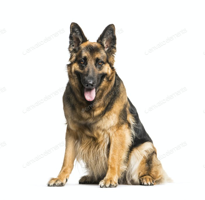 German Shepherd sitting and panting, isolated